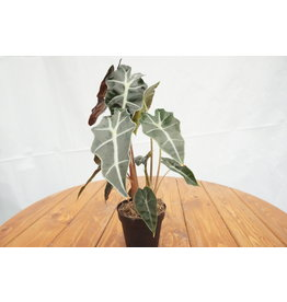 Alocasia Polly - 4""