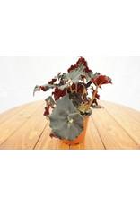 "Rex Begonia - Cultorum 5"""