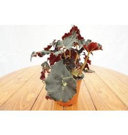 "Rex Begonia - Cultorum - 5"""