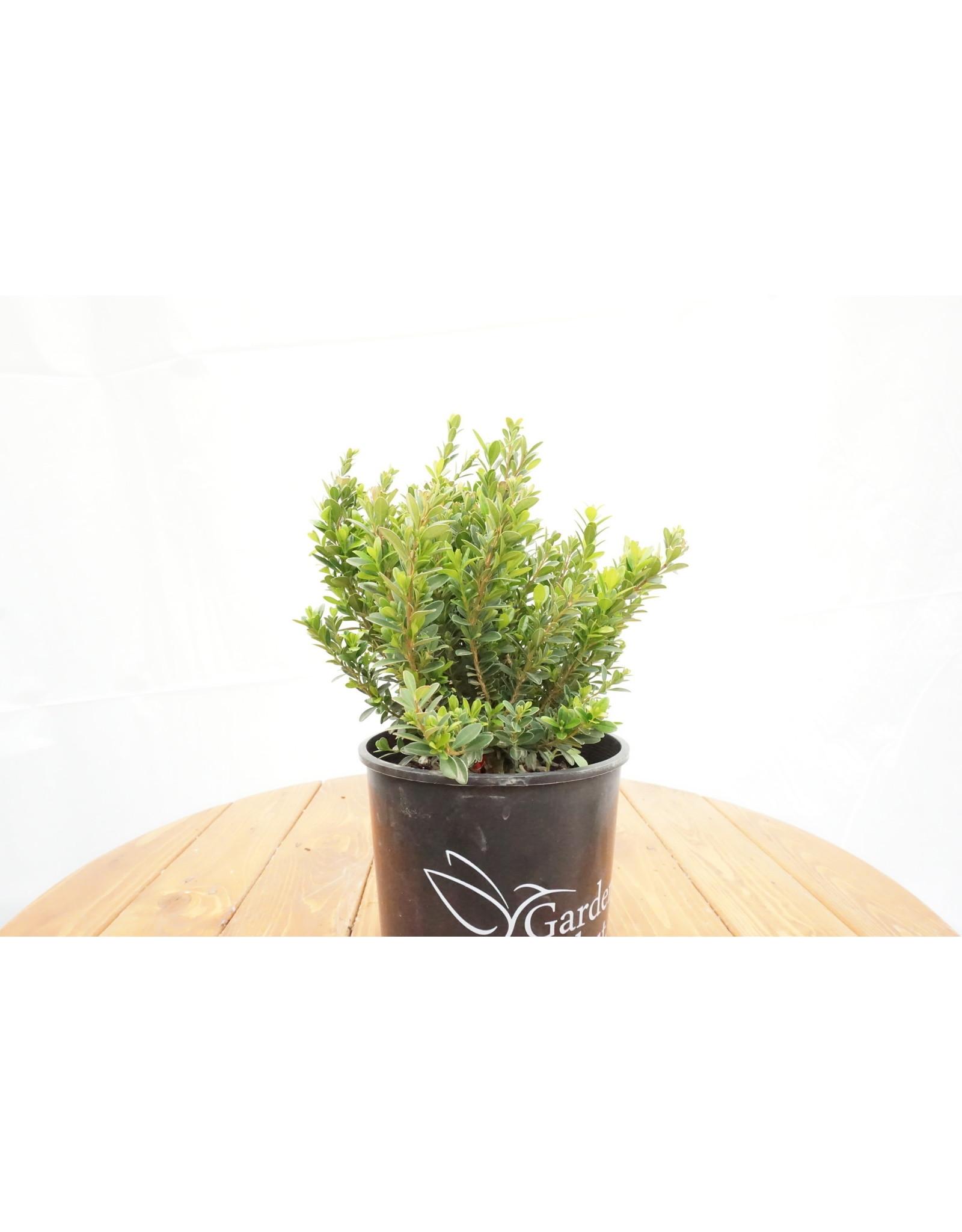 Boxwood - Buxus 'Baby Jade' - 1 Gallon