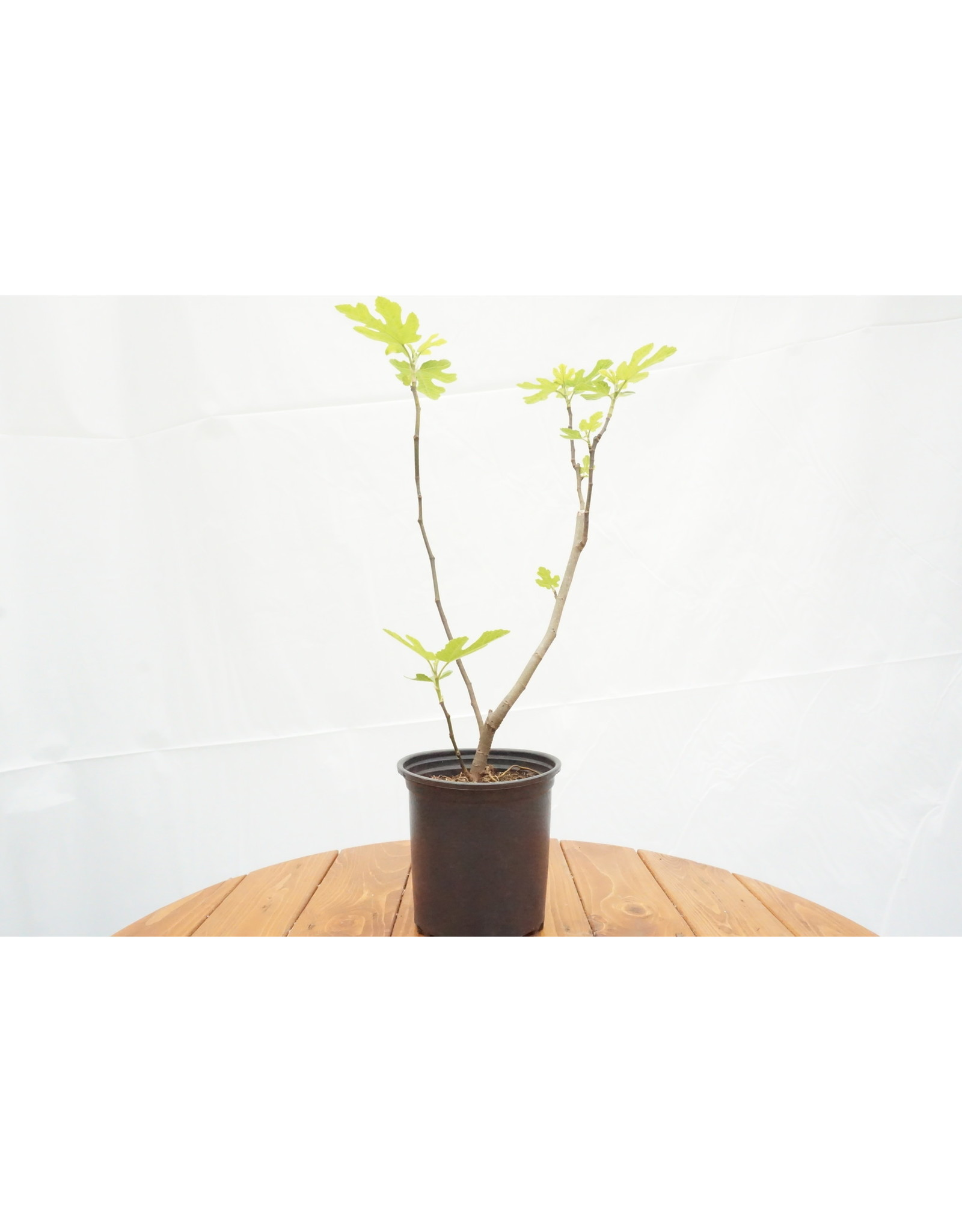 Fig, Edible - Ficus Carica 'Chicago Hardy' - 1 Gallon