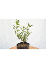 Kumquat - Citrus Japonica - 2 Gallon