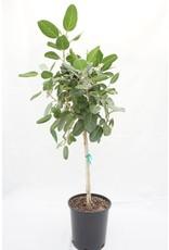 "Ficus Audrey - Ficus Benghalensis 14"" Standard"