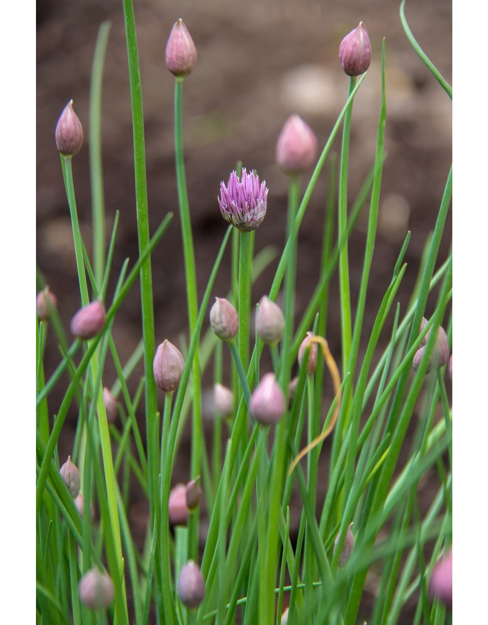 """Herb - Chives - Onion - 4 """""""