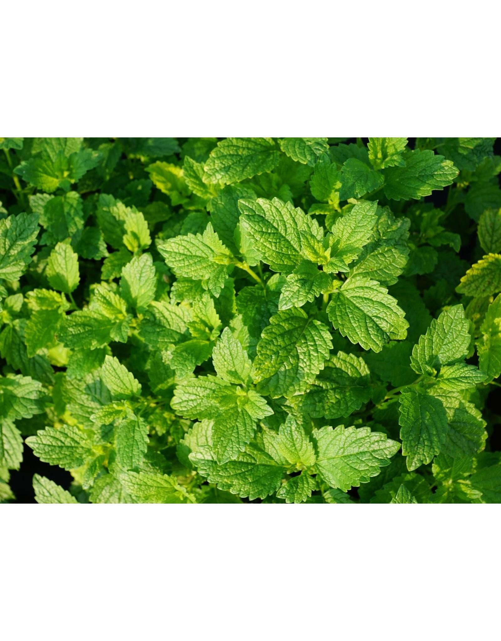 "Herb - Mint - Spearmint - 4"""