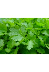 Herb - Parsley - Flat Italian 4""