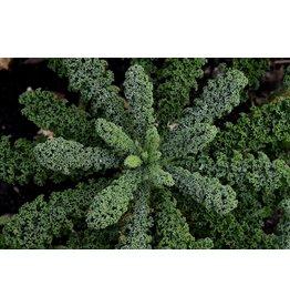 Kale, Black Magic - 6 pack