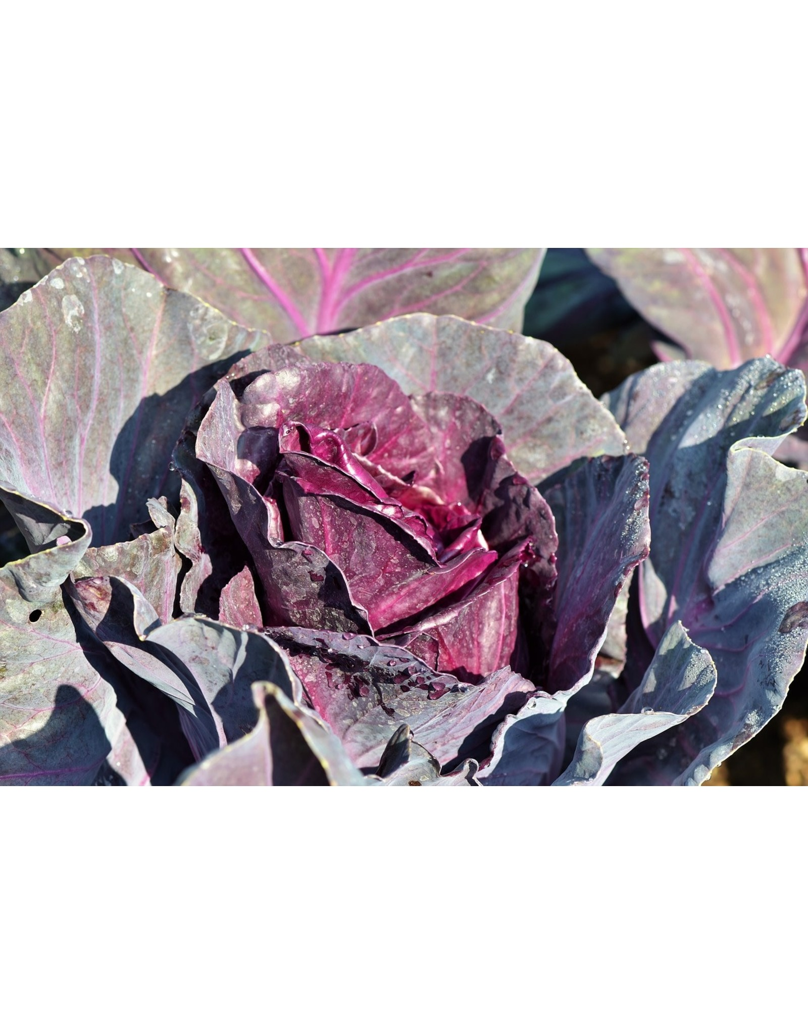 Cabbage - Ruby Perfection - 6-pack