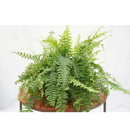 Boston Fern - Hanging Basket 11""
