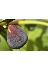 Fig, Edible - Ficus Carica 'Brown Turkey' - 3 Gallon