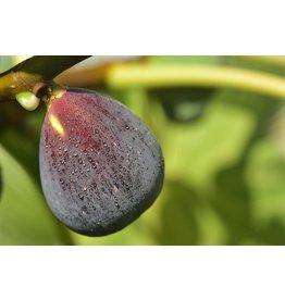 Fig, Edible - 'Brown Turkey' 3 Gallon