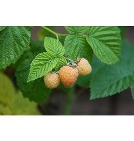Gold Raspberry - 'Rubus x 'Anne' 2 Gallon