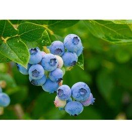 Blueberry, Rabbit Eye - 'Premier' 2 Gallon