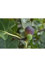 Fig, Edible - Ficus Carica 'Black Mission' 3 Gallon