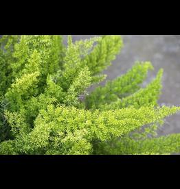 Asparagus Fern - 'Myers' 3 Gallon