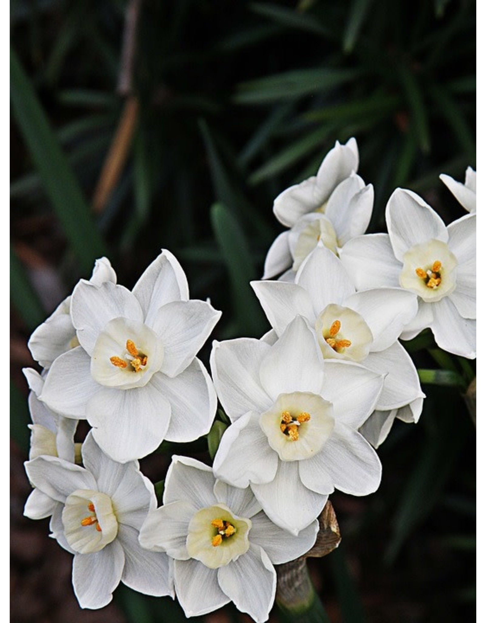 Bulb - Paperwhite Ziva (Single Bulb) - Paper White