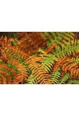 """Autumn Fern - 4"""""""