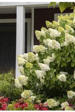 Hydrangea - Hydrangea Paniculata 'Limelight' - 3 Gallon