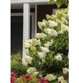 Hydrangea - 'Limelight' 3 Gallon