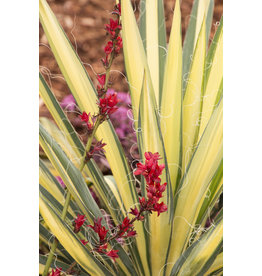 Yucca - 'Color Guard' 1 Gallon