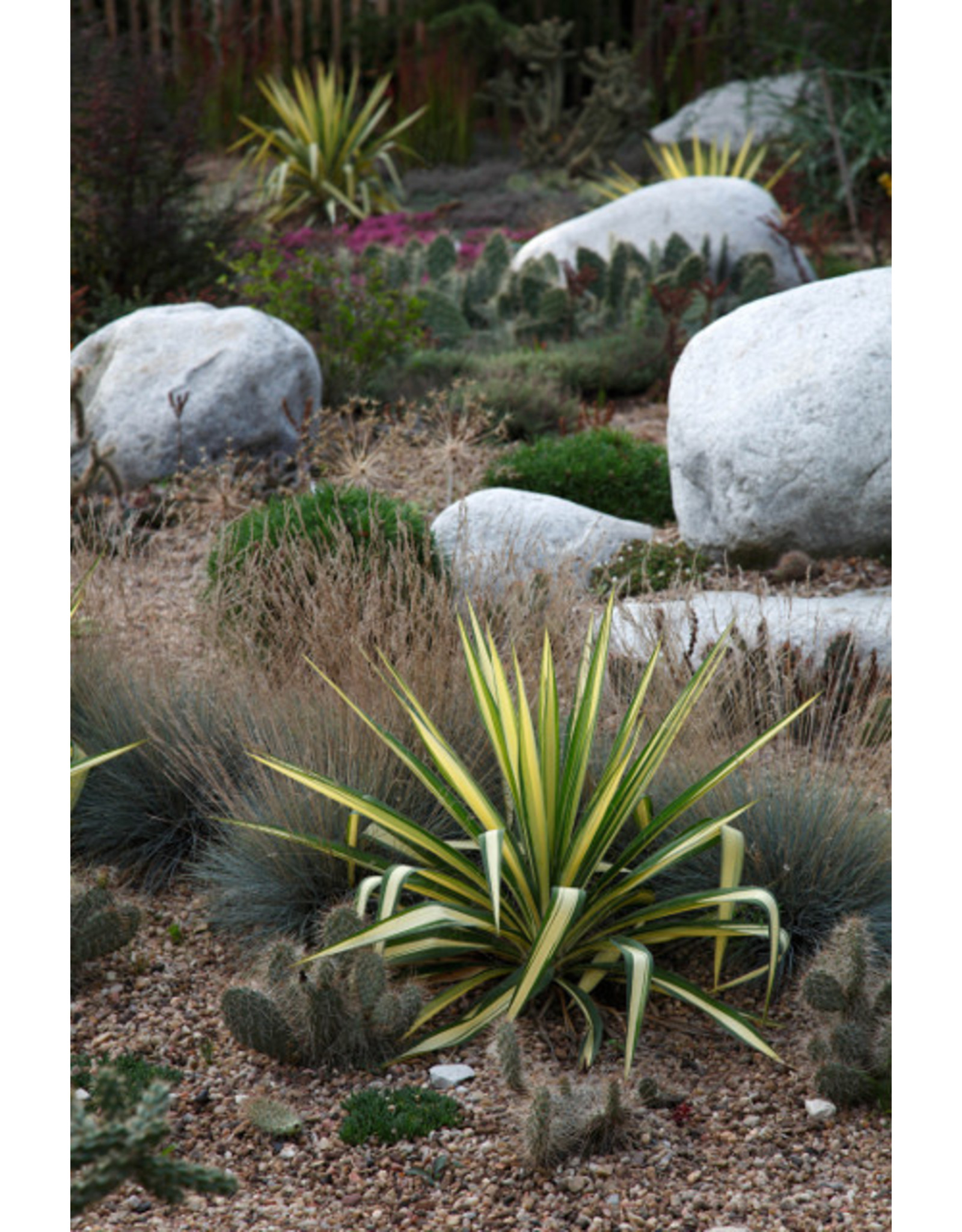 Yucca - Yucca filamnetosa 'Color Guard' - 1 Gallon