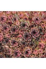 """Hens & Chicks - Sempervivum 'Red Beauty' - 4"""""""