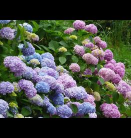 Hydrangea - 'Endless Summer Bloomstruck' 1 Gallon