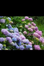 Hydrangea - Hydrangea Macrophylla 'Endless Summer The Original' - 2 Gallon