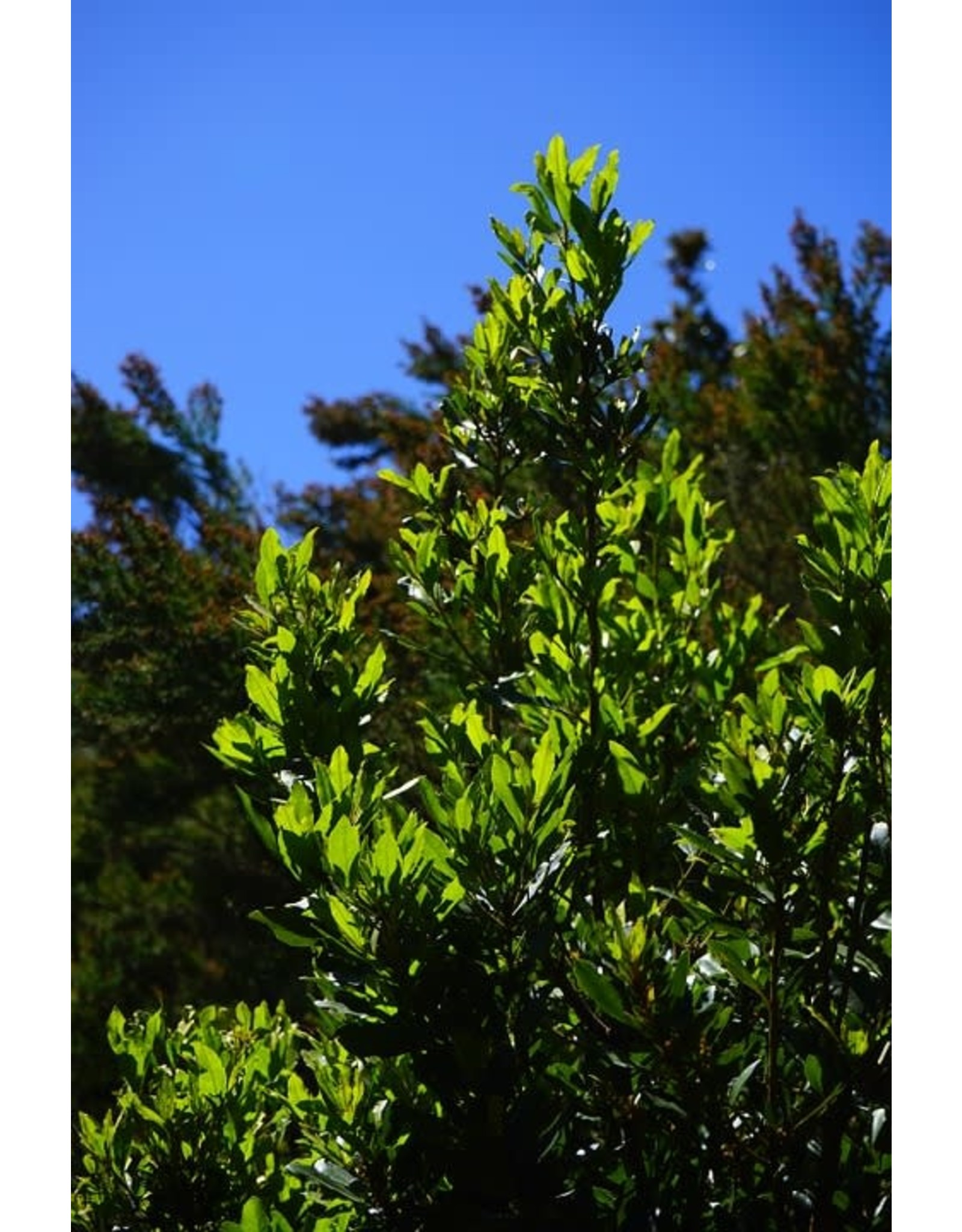Bay Laurel - Laurus Nobilis - 1 Gallon