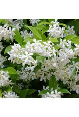 Madison Star Jasmine - Trachelospermum Jasminoides 'Madison' 3 Gallon