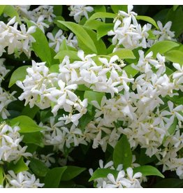 Madison Star Jasmine - 'Madison' 3 Gallon