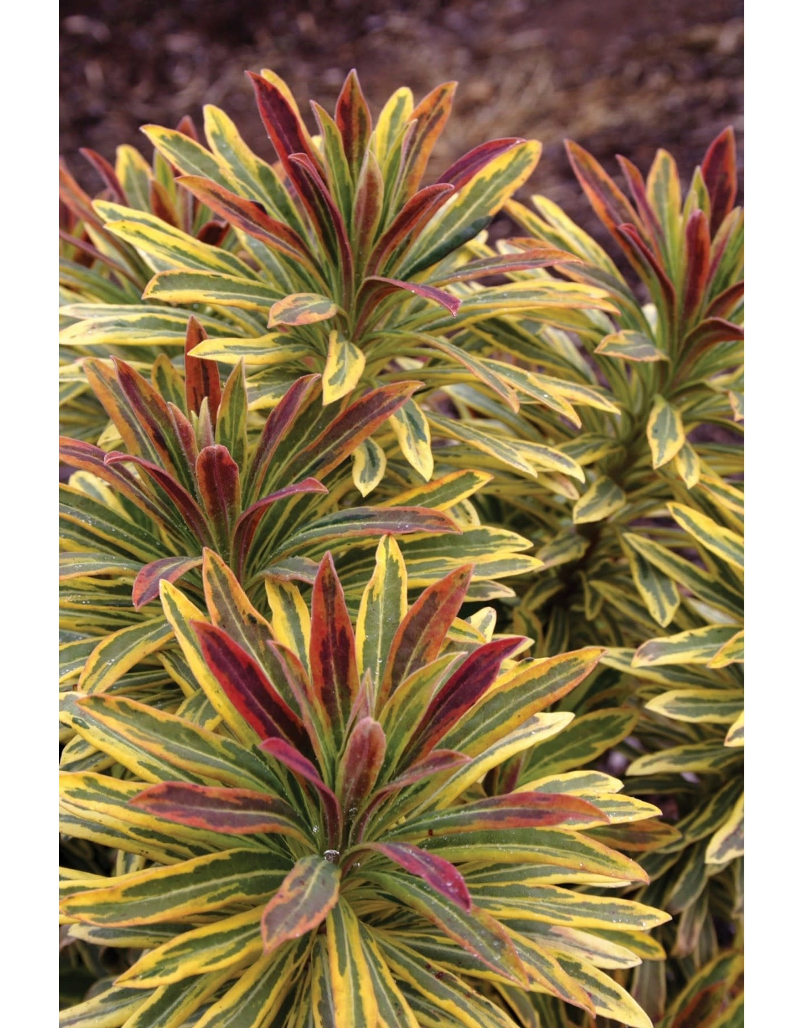 Euphorbia x Martinii 'Ascot Rainbow'  1 Quart