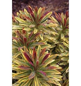 Euphorbia - 'Ascot Rainbow'  1 Quart