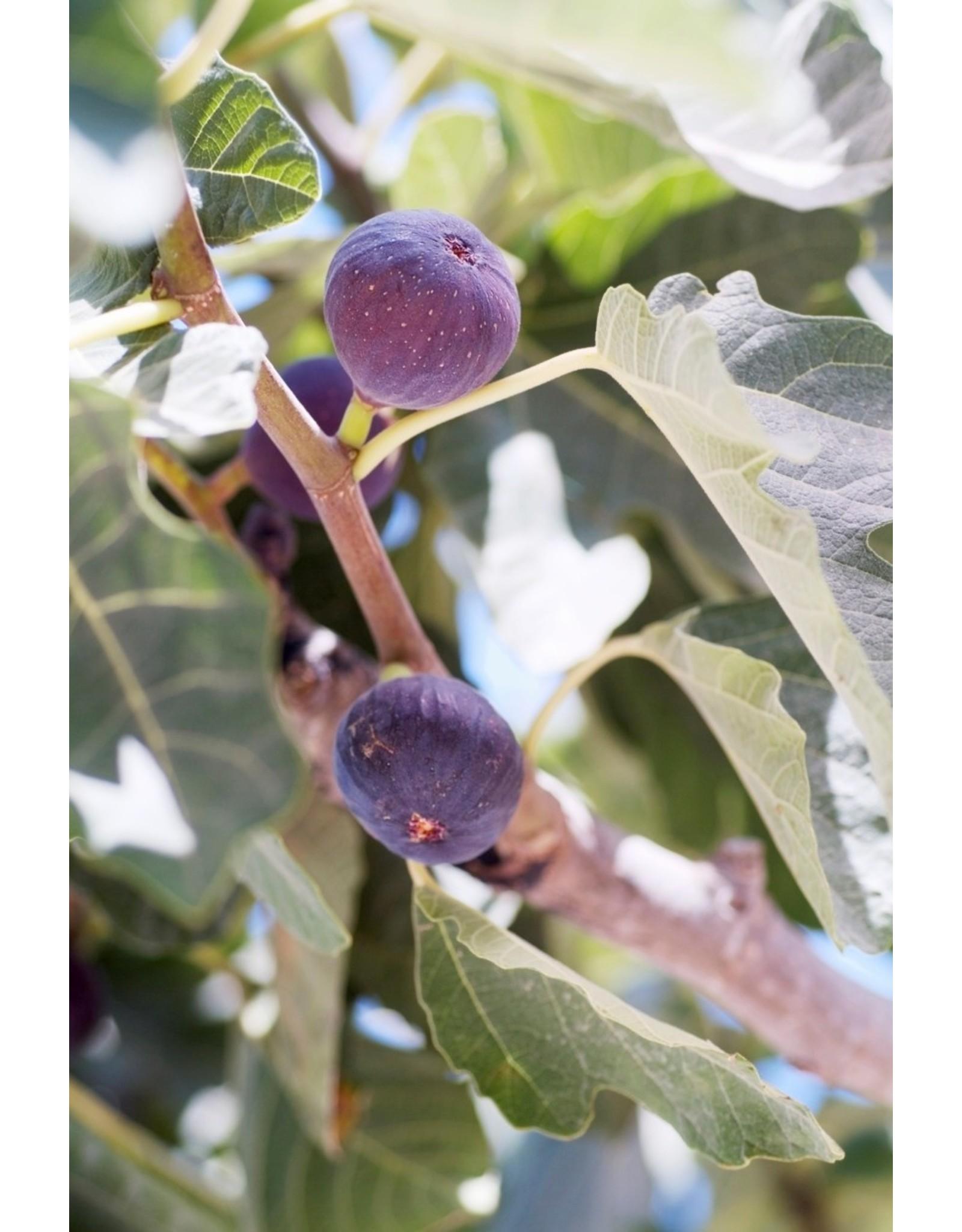 Fig, Edible - Ficus Carica 'Celeste' - 3 Gallon