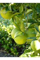 Mexican Lime - Citrus Aurantifolia - 1 Gallon