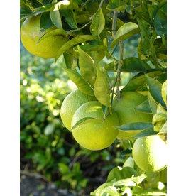 Mexican Lime - 1 Gallon