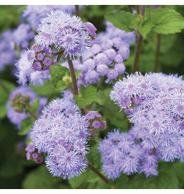 Seeds - Ageratum Blue Planet Hybrid