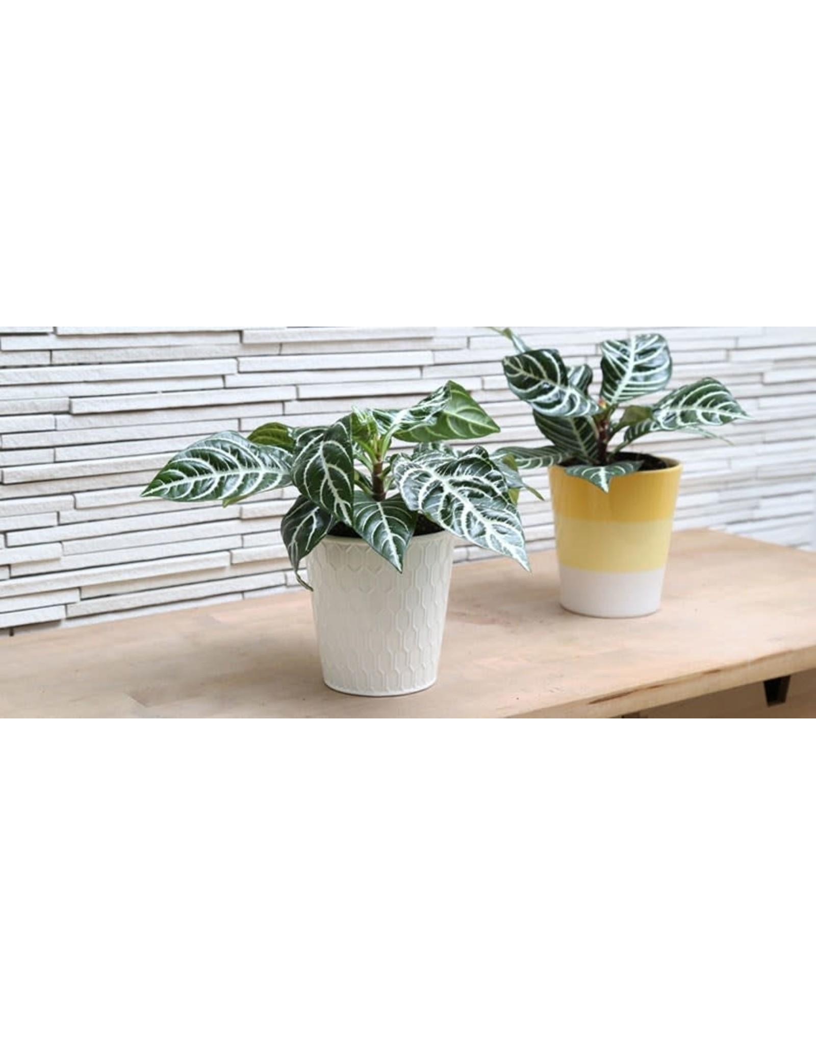 "Zebra Plant - Aphelandra 'Snow White' 4"""