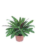 "Rattlesnake Plant - Calathea Lancifolia 6"""