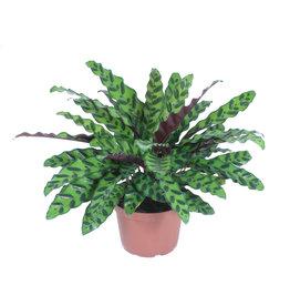 """Rattlesnake Plant - 6"""""""