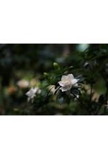 """Tropical Gardenia Tree - Gardenia Thunbergia - 10"""""""