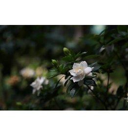 "Tropical Gardenia Tree - 10"""