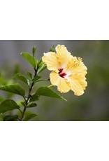 """Tropical Hibiscus Bush - Hibiscus Rosa-Sinensis - 10"""""""