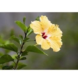 "Tropical Hibiscus Bush - Yellow 10"""