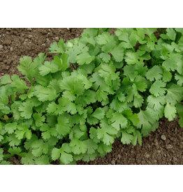 Seeds - Cilantro / Coriander Organic