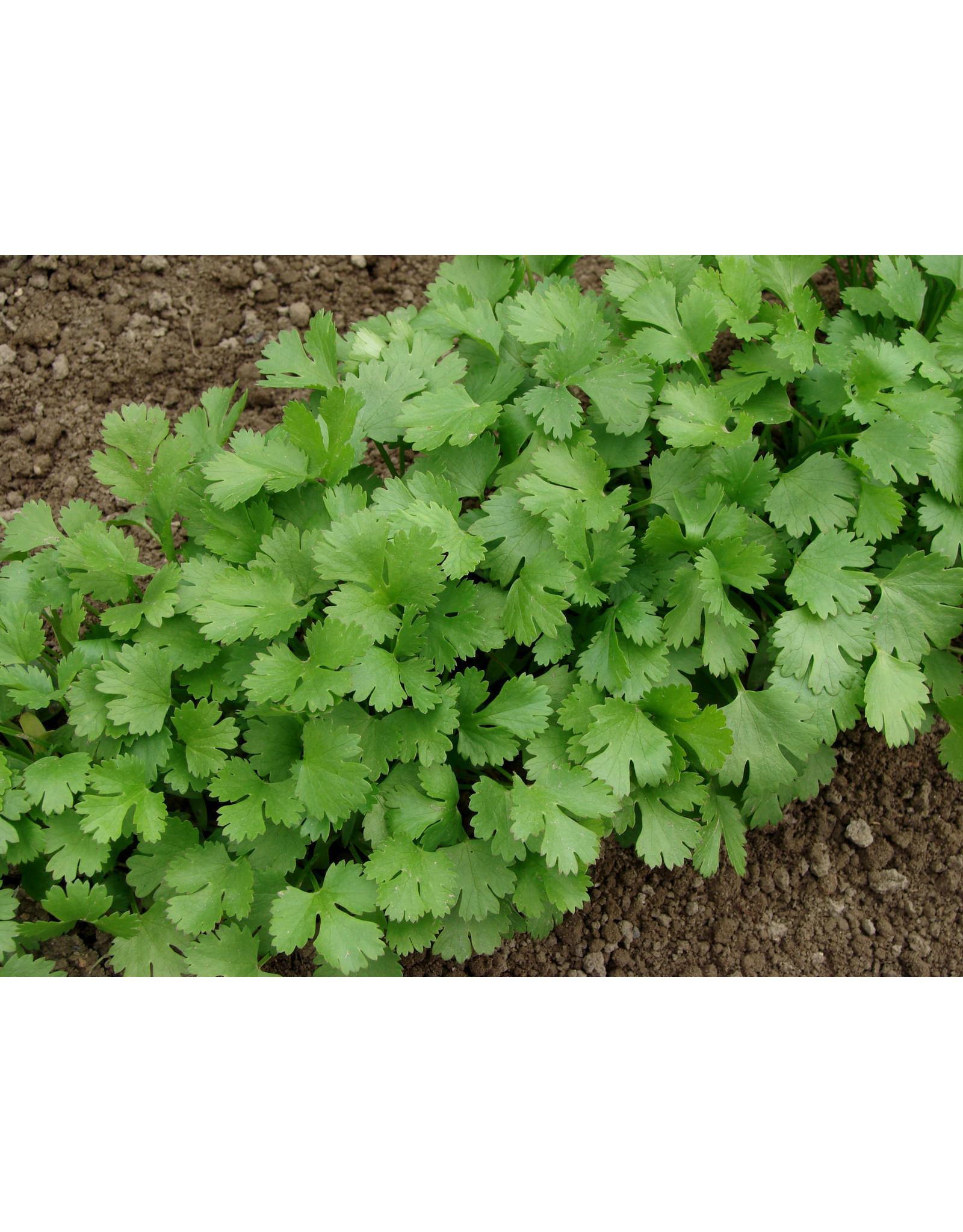 Seeds - Cilantro / Coriander Org, Large