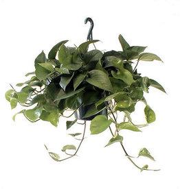 """Pothos - 'Jade' 8"""" Hanging Basket"""