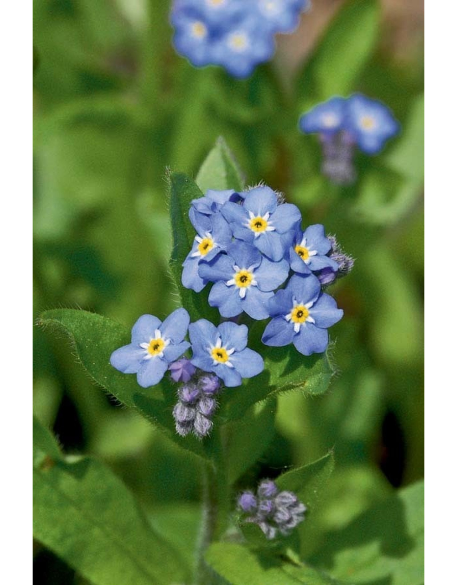 Seeds - Forget-Me-Not Victoria Blue