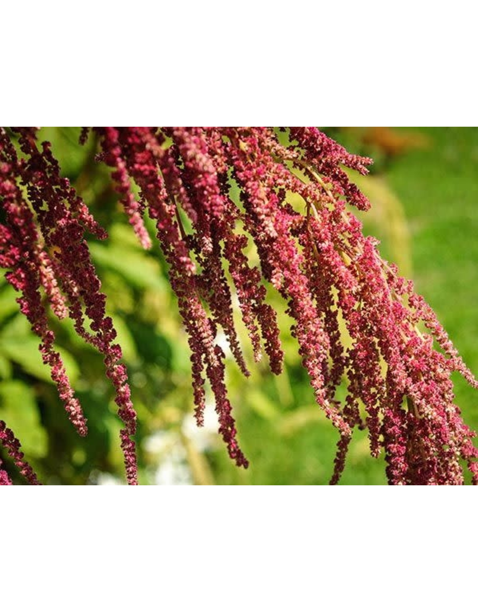 Seeds - Love Lies Bleeding, Amaranth