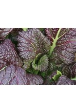 Seeds - Mustard Red Giant